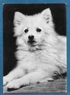 CANI DOGS 1955 - Hunde