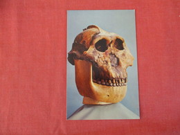 Skull Of Zinjanthropus The Near Man Found At Olduvail Gorge  Ref 2941 - Museum