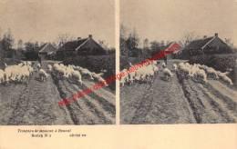 Troupeau De Moutons - Stereokaart - Bouwel - Grobbendonk