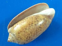 Oliva Samarensis Philippines 24,7mm F+++  N6 - Coquillages