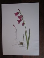 Planche Botanique - Flore N 25 - Glaïeul Des Marais - Fiches Illustrées
