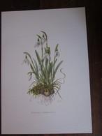 Planche Botanique - Flore N 21 - Perce-neige - Fiches Illustrées