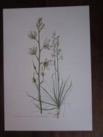 Planche Botanique - Flore N 10 - Anthéric à Fleurs De Lis - Fiches Illustrées
