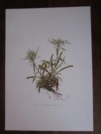 Planche Botanique - Flore N 152 - Edelweiss - Fiches Illustrées