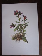 Planche Botanique - Flore N 118 - Pulmonaire Officinale - Fiches Illustrées