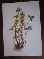 Planche Botanique - Flore N 139 - Orobanche Jaune - Fiches Illustrées
