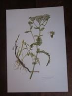 Planche Botanique - Flore N 155 - Achillée Millefeuille - Fiches Illustrées