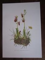 Planche Botanique - Flore N 31 - Ophrys Frelon - Fiches Illustrées