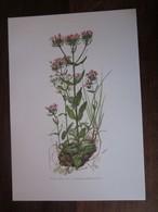 Planche Botanique - Flore N 110 - Petite Centaurée - Fiches Illustrées