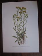 Planche Botanique - Flore N 153 - Immortelle Des Sables - Fiches Illustrées
