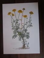 Planche Botanique - Flore N 154 - Anthémis Des Teinturiers - Fiches Illustrées
