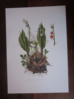 Planche Botanique - Flore N 19 - Muguet De Mai - Fiches Illustrées