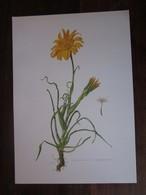Planche Botanique - Flore N 165 - Salsifis Des Prés - Fiches Illustrées