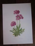 Planche Botanique - Flore N 102 - Primevère Farineuse - Fiches Illustrées