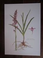 Planche Botanique - Flore N 30 - Orchis Moucheron - Fiches Illustrées