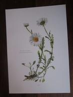 Planche Botanique - Flore N 157 - Grande Marguerite - Fiches Illustrées