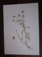 Planche Botanique - Flore N 156 - Camomille - Fiches Illustrées