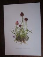 Planche Botanique - Flore N 34 - Nigritelle Noirâtre - Fiches Illustrées