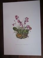 Planche Botanique - Flore N 105 - Soldanelle Des Alpes - Fiches Illustrées