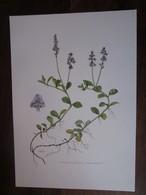 Planche Botanique - Flore N 134 - Véronique Officinale - Fiches Illustrées