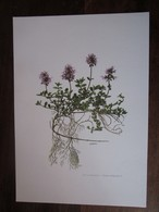 Planche Botanique - Flore N 125 - Thym Serpolet - Fiches Illustrées