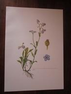 Planche Botanique - Flore N 116 - Myosotis Des Bois - Fiches Illustrées