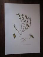 Planche Botanique - Flore N 136 - Euphraise Officinale - Fiches Illustrées