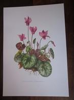 Planche Botanique - Flore N 106 - Cyclamen D'europe - Fiches Illustrées