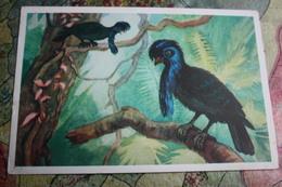 Amazonian Umbrellabird Bird - OLD Postcard 1968 - Birds