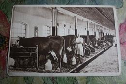Cow  - OLD USSR Postcard  -  Electrical Milking At Berezino Village In Ukraine 1954  - Vache - Koeien