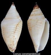 Conus Coromandelicus - Coquillages