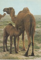 IRAQ - Camels - Chamelle Et Son Petit - Irak