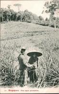 ! Alte Ansichtskarte Singapore, Singapur, Pineapple Plantation, Ananas Plantage, Asien, Asia - Singapur
