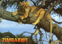 Zimbabwe Lion A Lioness Cools Off In The Branches Of An Acacia Tree - Zimbabwe