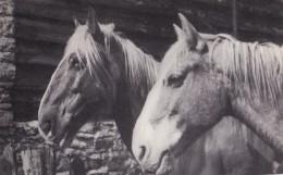 AR42 Animals - 2 Horses - Plain Back RPPC - Horses
