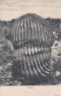 CACTUS. VISNAGA. GROHMANN. MEXICO. CIRCULEE TO ALLEMAGNE.-BLEUP - Cactussen