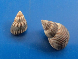 Littorina Angustior (2) Guadeloupe  9,3 Et 13,9mm GEM WO N5 - Seashells & Snail-shells