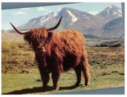 (M+S 120) Scotland - Cows - Stieren