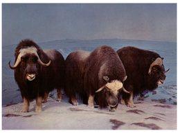 (500) USA - Denver Museum Muskox - Bull