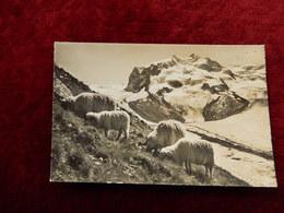 ZERMATT - MONTE ROSA - BREBIS - SHEEP - EDIT OBERHOFEN -  R14912 - VS Valais