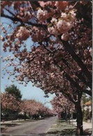 """BOITSFORT - """"Le Logis"""" - Cerisiers En Fleurs - Oblitération De 1974 - Watermael-Boitsfort - Watermaal-Bosvoorde"""