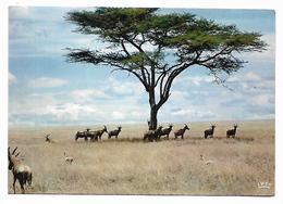 Cpm St003888 Troupeau D'antilopes Collection Faune Africaine - Lions