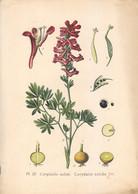 1891 - Botanique - Chromolitographie - Corydalle Solide - FRANCO DE PORT - Lithographies