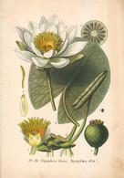 1891 - Botanique - Chromolitographie - Nymphéa Blanc - FRANCO DE PORT - Lithographies