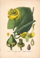 1891 - Botanique - Chromolitographie - Nymphéa Jaune - FRANCO DE PORT - Lithographies