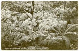 AUSTRALIA : TASMANIA - TYPE OF THE MAGNIFICENT FERN SCENERY IN THE TASMANIAN BUSH - Australia