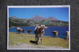 Vaches Des Pyrénées Au Lac Des BOUILLOUSES - Vaches