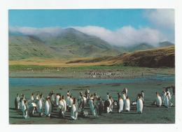 Taaf  , Ile De La Possession Crozet Manchots Royaux Baie Américaine - TAAF : Terres Australes Antarctiques Françaises