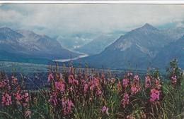 Alaska Range From Eureka Flats With Fireweed In Foreground / CIRC 195? - Fairbanks