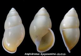 Amphidromus Djajasasmitai - Coquillages